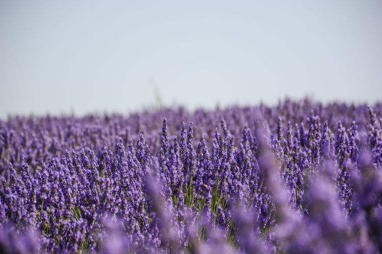 Lavender field in Provence Agriculture Aromatherapy Beauty In Nature Day Field Flower Freshness Growth Herb Herbal Medicine Landscape Lavender Lavender Colored Lavender Field Nature No People Outdoors Perfume Plant Provence Purple Rural Scene Scenics Scented Selective Focus