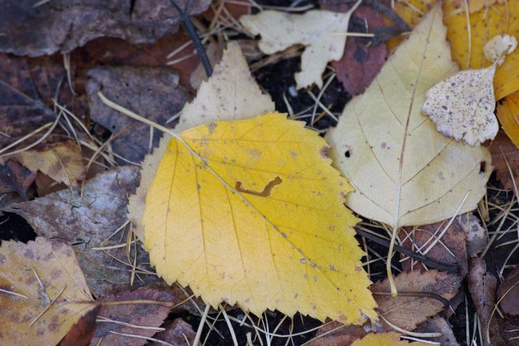 High angle view of yellow maple leaf on land