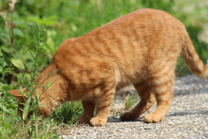 Animal Animal Head  Animal Themes Cat Close-up Day Ginger Cat Gingercat Gingercat I Adore Grass Mammal Nature No People Outdoors Seeking