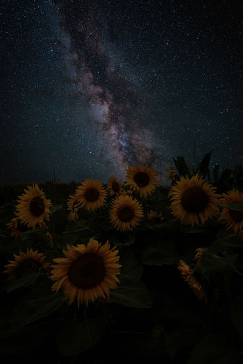 Sunflowers are sunny, even at night.