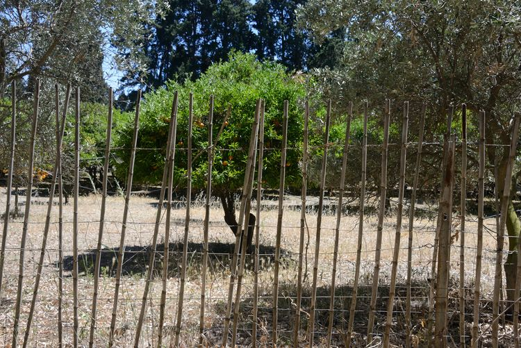 landscape of orange fruit tree and olives tree behind a bamboo fence Bamboo - Plant Bamboo Fence Beauty In Nature Day Fruits Growth Landscape Nature No People Olives Trees Orange Fruit Orange Fruit Tree Outdoors Sardinia Sardegna Italy  Tranquility Tree