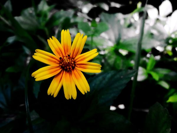 Vibrant Color Single Flower Nature Flower Yellow Beauty In Nature Petal Flower Head Fragility Fragility Petal Freshness Flower Yellow Flower Head Growth Beauty In Nature Close-up In Bloom Springtime Blossom Nature Season  Plant Daisy First Eyeem Photo
