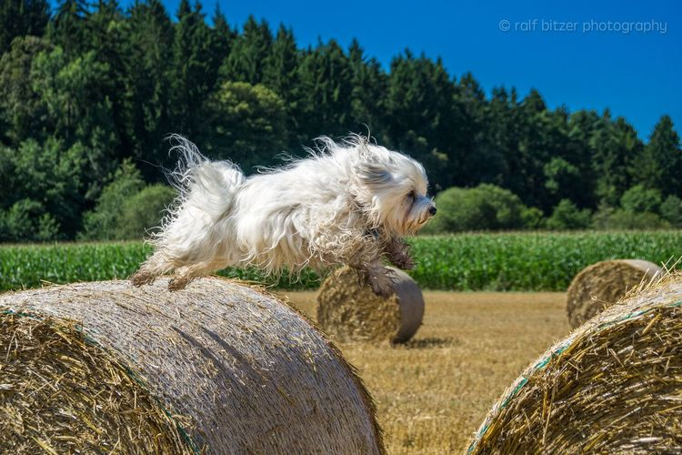 Mika beim fliegen One Animal Animal Themes Outdoors Fliegen Flyer Dogma Tree Side View Animal Hair Full Length Domestic Animals Mammal Day Tranquility Growth Zoology Focus On Foreground Tranquil Scene Green Color Solitude Green Rural Scene Grassland Dog Havanese havaneser