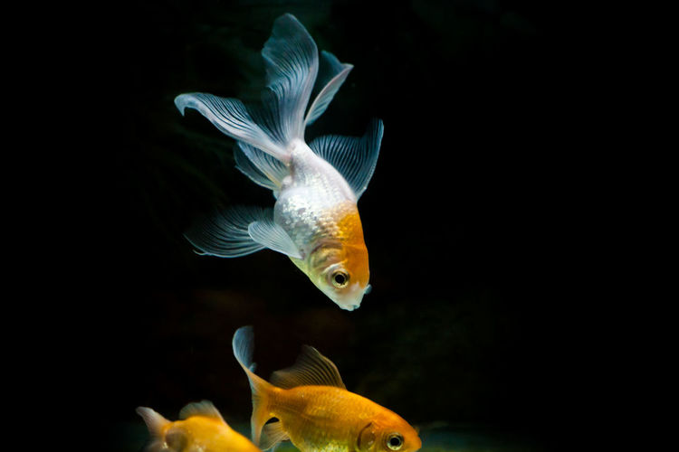 Goldfish with orange and white color having beautiful fins swimming Aquatic Goldfish In Water Animal Themes Aquarium Close-up Conceptual Indoors  No People Swimming