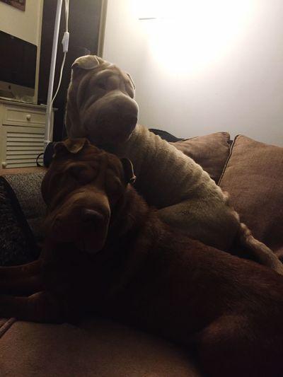 Sharpei Dog Dogs Dog Love Animal Themes Animals In The Wild Animals Animal