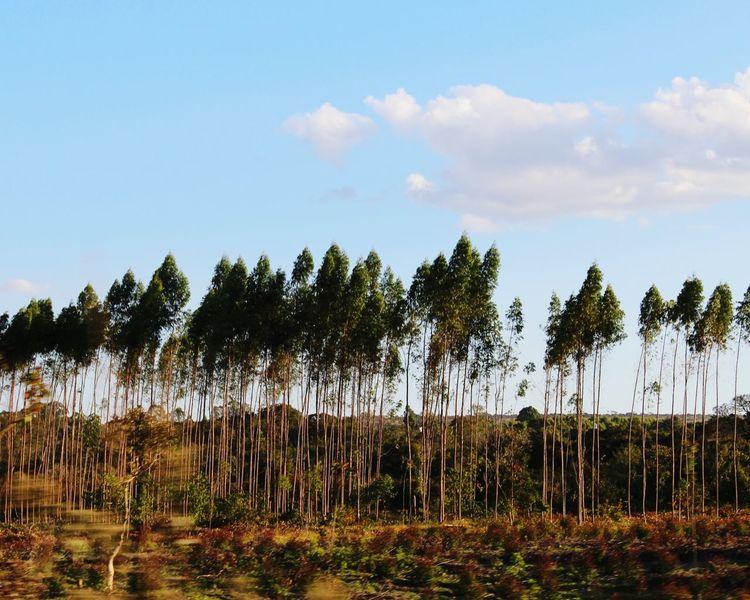 Floresta Road Road Trip Pinheiro Trees Forest árvores Silhueta