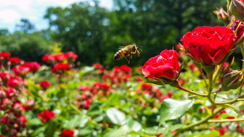 Rose🌹 Flower Nature Beauty In Nature Growth Insect Freshness Plant Animals In The Wild One Animal Outdoors Focus On Foreground Pollination Blooming Bees At Work Roses Rose Garden Tyler Rose Garden Rose Capital Of The World Flowers Flower Head Red Paint The Town Yellow