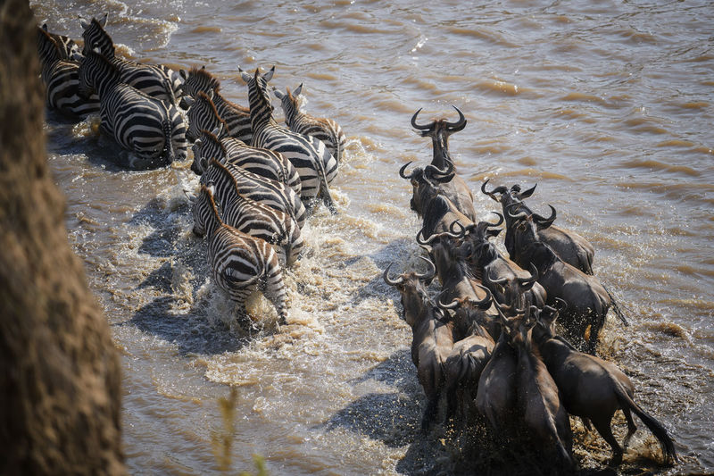 High angle view of horses in water