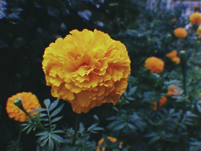 Flower Beauty In Nature Nature Freshness Petal Fragility Growth Yellow Blooming Close-up Plant Marigold