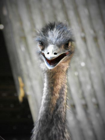 Alertness Angry Animal Themes Animals In The Wild Attack Bird Close-up Emu Frightening Front View Grey Looking At Camera No People One Animal Ostrich Outdoors Portrait Selective Focus Wildlife