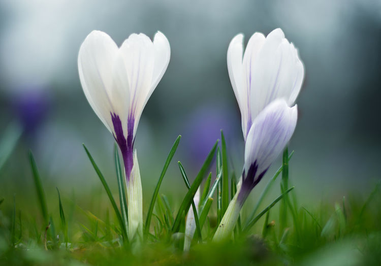 Plant Flowering Plant Flower Freshness Beauty In Nature Growth Petal Vulnerability  Fragility Close-up Selective Focus Nature Inflorescence Flower Head Crocus No People Field Day Green Color Grass Springtime Iris Outdoors Purple Soft Focus