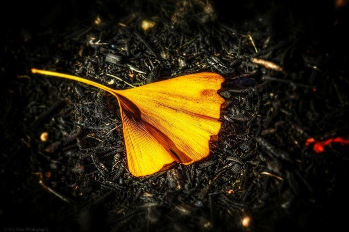 Snapseed experiment. Gingkobiloba Ginkgo Leaf Ginkgo Biloba Ginkgo Leaves Ginkgo Autumn🍁🍁🍁 Autumn Autumn Colors Autumn 2015