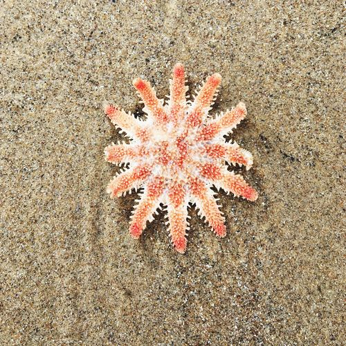 Beach Sand Starfish  High Angle View Nature Outdoors Day No People Sea Life Close-up Sea Beauty In Nature UnderSea