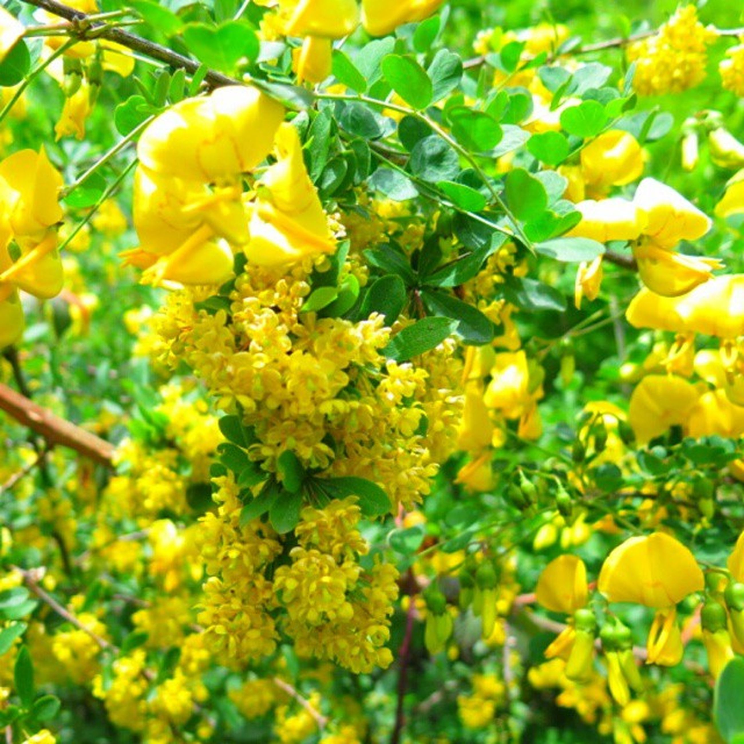 yellow, flower, freshness, growth, fragility, beauty in nature, nature, branch, petal, low angle view, tree, plant, close-up, blooming, leaf, in bloom, blossom, outdoors, day, bud