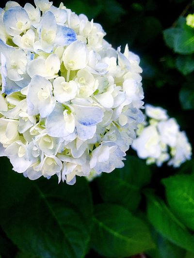Hydrangeas Beauty In Nature Plant Flowering Plant Fragility Growth Flower Vulnerability  Petal Close-up White Color Hydrangea No People Outdoors Nature