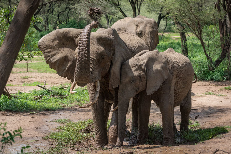 Elephants standing by trees in forest