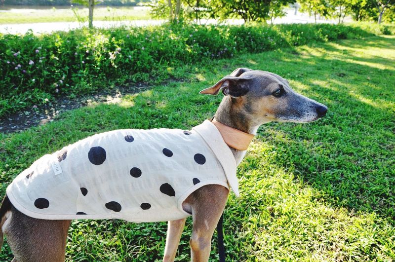 Italiangreyhound Italia Italian Italy Dog Hund Mymorning Beautiful Nature DogLove Dogwear Wear Clothes Dot Organic Organically Green Green Color Lovely Cute Pets Cute Pets Peteyeem River Beautiful