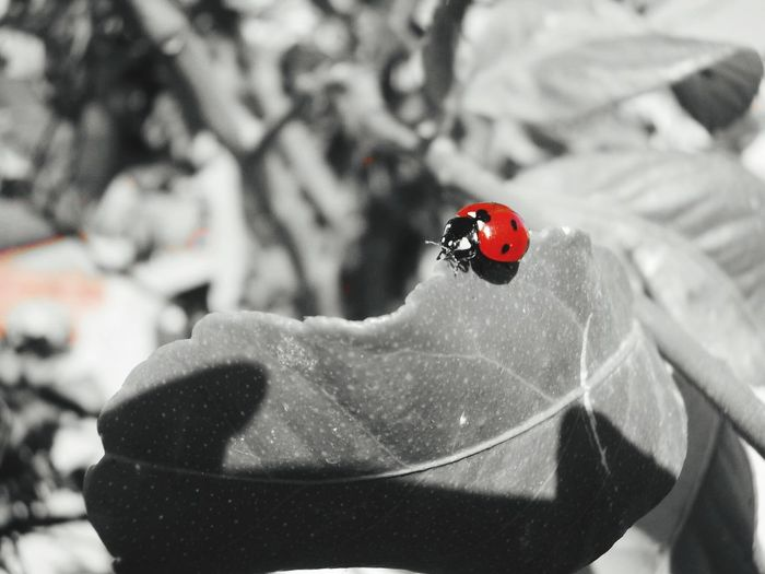 Red Ladybug One Animal Insect Animals In The Wild Animal Themes Animal Wildlife Day Outdoors Close-up No People Winter Snow Nature GREECE ♥♥ Greece Crete Greece Crete Crete Island Gazi Black And White Black And White Photography Red Only