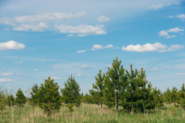 Young trees in spring. Siberia Siberia, Russia Cloud - Sky Sky Plant Beauty In Nature Tranquility Tranquil Scene Growth Tree Scenics - Nature Landscape Land Day Environment No People Non-urban Scene Green Color Field Nature Grass Outdoors Young Trees Young Tree