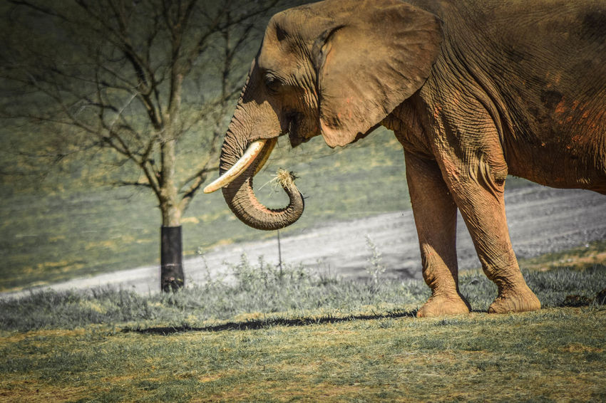 Although in captivity in a zoo, it is not necessarily a bad thing. These animals will not be harmed or destroyed for their coats or meat. At least they are safe. Animal Animal Photography Animal Themes Animals Animals In The Wild Beauty In Nature Day Elephant Grass Grassy Growth Ladyphotographerofthemonth Landscape Mammal Mammals Nature No People Non-urban Scene Outdoors Tranquil Scene Tranquility Tree Trunk