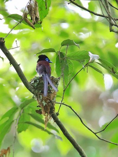 サンコウチョウの子育て Bird Animal Animals In The Wild Animal Wildlife Animal Themes Vertebrate Bird Plant Beauty In Nature Nature