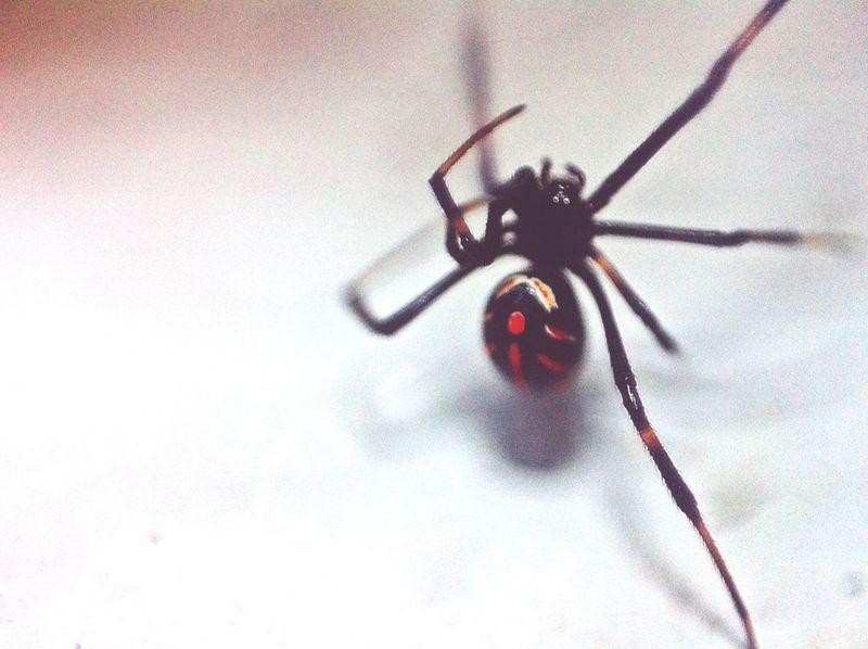 Macrophotography Macro Spider Taking Photos a salido algo desenfocada ero es dificil con la tecnica de lente invertido?