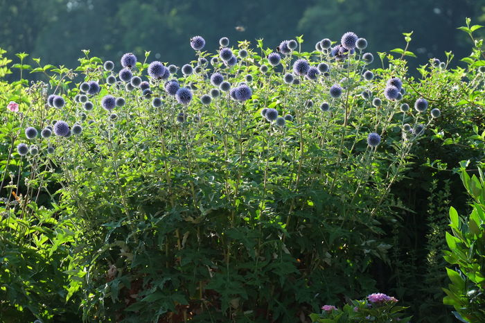 Blue Globe Thistle Garden Flowers Blooming Flower Decorative Flowers Echinopsis Subdenudata Flower Garden Herbaceous Perennial Thistle