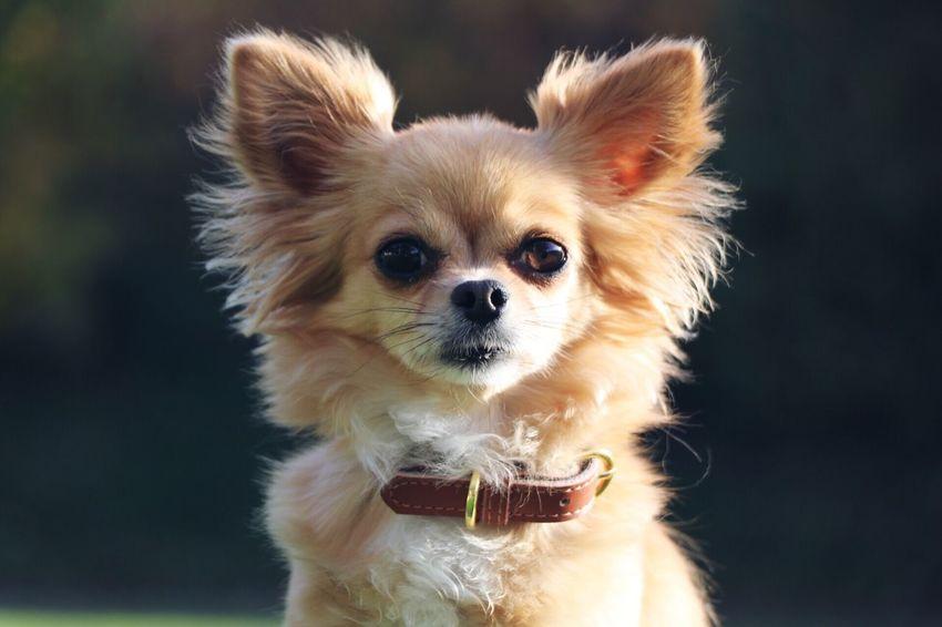 Cutie Chihuahua Mylove Portrait Dog EyeEmNewHere