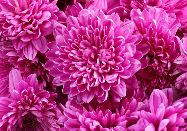 pink floral Flower Head Flower Pink Color Petal Backgrounds Close-up Blooming Plant In Bloom Chrysanthemum Blossom