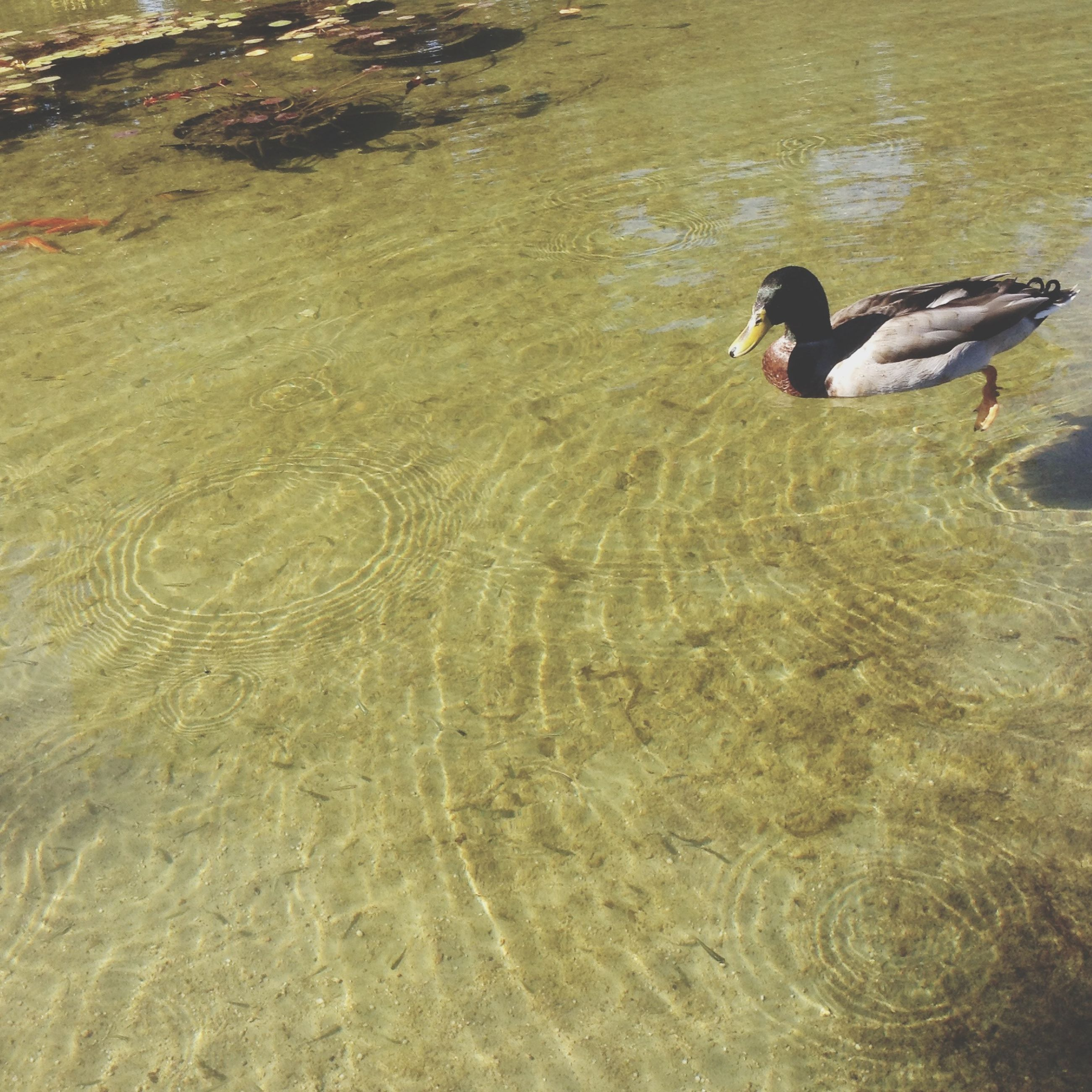 water, animal themes, rippled, lake, swimming, high angle view, waterfront, lifestyles, leisure activity, bird, animals in the wild, nature, wildlife, men, duck, reflection, day, outdoors