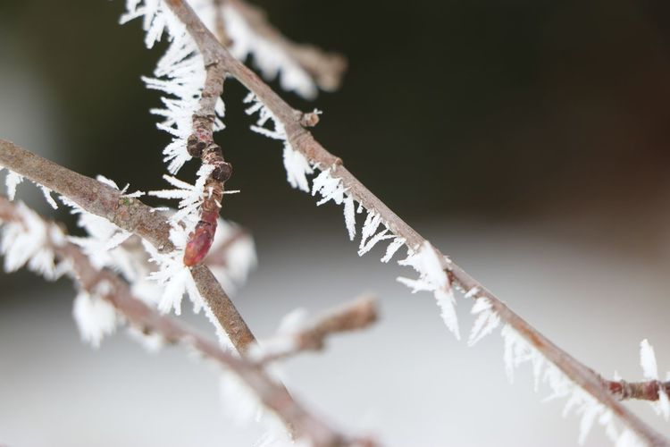 hoar frost Winter Branch Cold Temperature Close-up Animal Themes Snow Covered