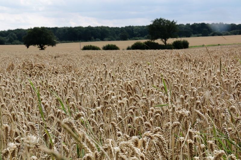 Kornfeld an der Ostseeküste corn field along the Baltic Sea Agriculture Landscape Farm Field Nature Rural Scene Tranquility Beauty In Nature Cereal Plant Scenics Outdoors Wheat Sunshine Baltic Sea Timmendorfer Strand Germany🇩🇪 Growth Crop  Sky Cultivated Land