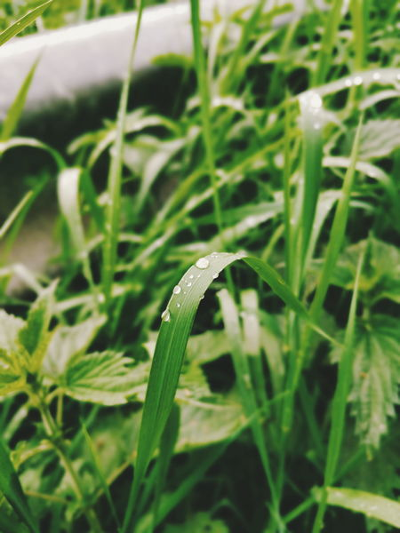 rain drops Close-up Grass Animal Themes Plant Green Color Blade Of Grass Ladybug Grasshopper Damselfly Symbiotic Relationship Water Drop Drop Web Animal Antenna Droplet Caterpillar Dragonfly Praying Mantis Dew Insect Butterfly - Insect Bug
