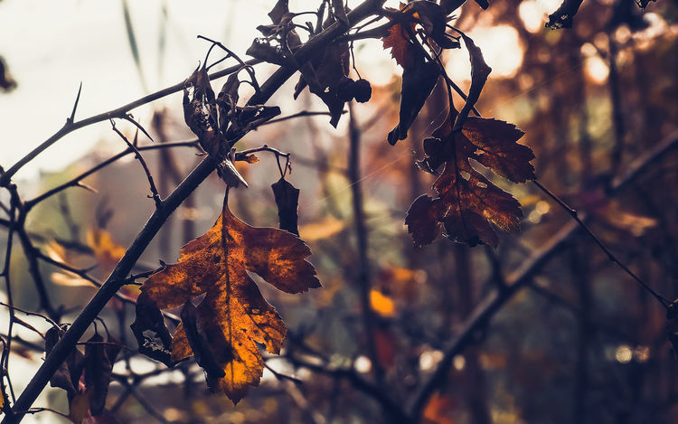 Autumn Leaves Leaf Plant Part Plant Autumn Tree Focus On Foreground Nature Change Dry Close-up Beauty In Nature No People Leaves Branch Day Outdoors Tranquility Brown Orange Color Growth Dead Plant Autumn Collection Maple Leaf Natural Condition Dried