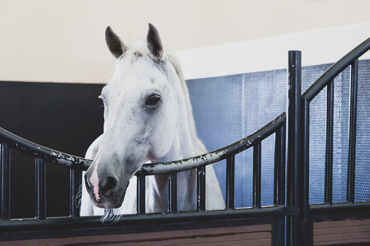 Middle eastern white horse at the stables