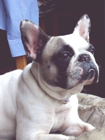 #frenchie One