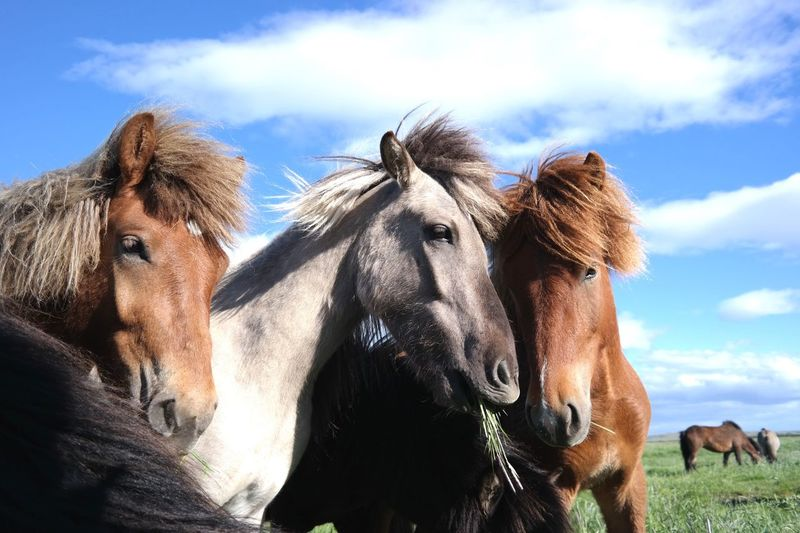 Iceland Icelandic Horse Horses Horse Feeding Horse Photography  Nice Day In Iceland Without Filters