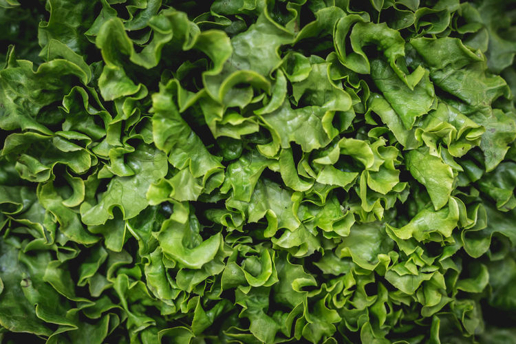 Raw Fresh green lettuce leaves texture and background. Top view Agriculture Freshness Green Leafs Nature Plant Salad Vegetarian Vegetarian Food Background Cabbage Close Up Close-up Food Fresh Healthy Lettuce Lettuce Salad Nutrition Organic Organic Food Salad Vegetable Texture Vegetable Vegetables