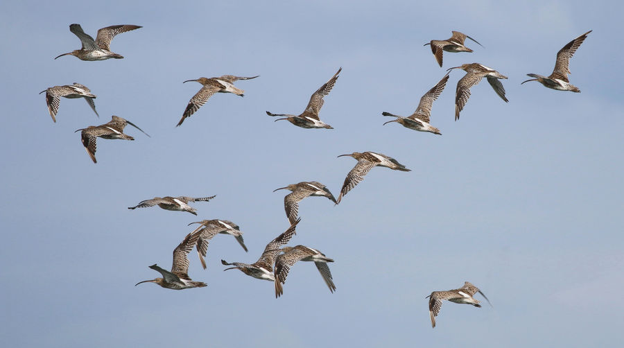 Flock of Curlew Animal Wildlife Animal Themes Animals In The Wild Animal Group Of Animals Bird Vertebrate Flying Large Group Of Animals Spread Wings No People Sky Flock Of Birds Mid-air Low Angle View Nature Day Clear Sky Beauty In Nature Motion