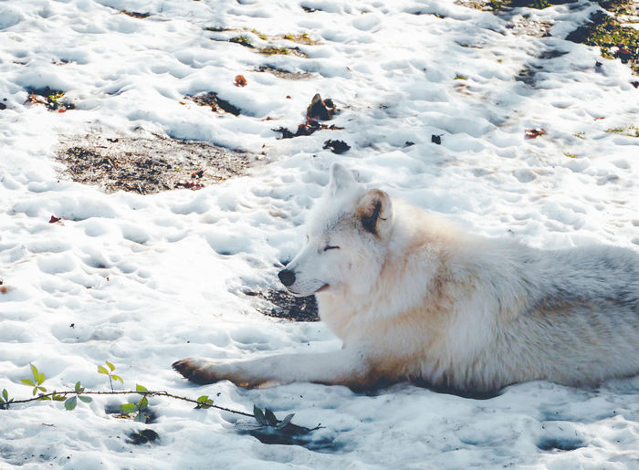 Animals In The Wild Natural Beauty Nature Nature Photography Winter Animal Animal Photography Animal Themes Animal Wildlife Beauty In Nature Chill Cold Temperature Day Forest Photography Nature Nature_collection No People One Animal Outdoors Snow WOlves White Color Winter Wolf Wolves In Forest