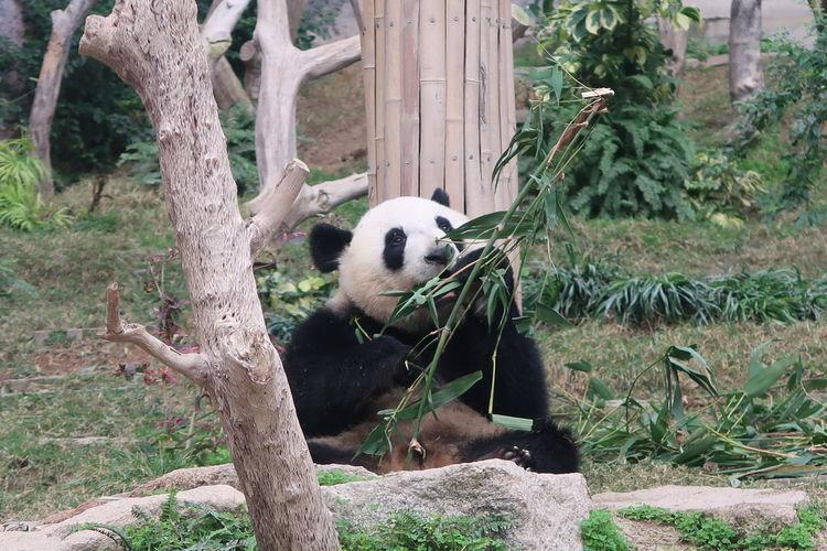 Panda sitting on tree trunk in zoo