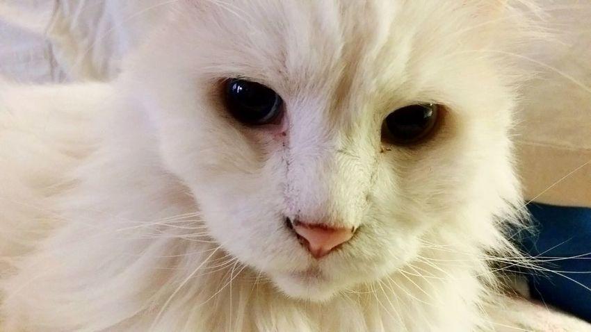 Showcase July 2016 Catsoftheworld Catsoneyeem Cats Lovers  Catstar #cat #catnap #catoftheday #catpic #catlovers #catsconnect #catinstagram #catsofinstagram #gato #gatinhos #gatto #garfield #petstagram #premierpet #photooftheday #petsofinstagram #picoftheday #petlovers #instabicho #ilovecats #ilovemypet #issovicia:1874866] Catslovers Catslife Thisweekoneyeem EyeEmbestshots Showcasejuly2016 Pets Corner Pets Photography Cat Photography