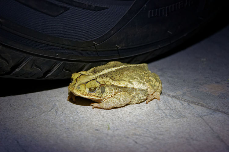 Toad Animal