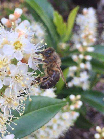Biene Bienen Bei Der Arbeit Frühling EyeEm Nature Lover EyeEm Best Shots Daswasichsehe😊