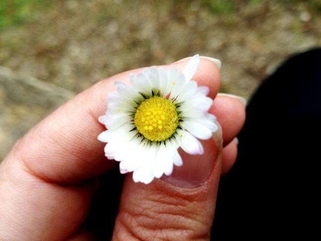 Human Hand Flower Flower Head Holding Close-up
