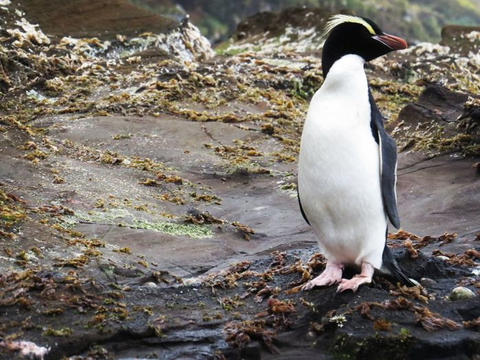 Erect Crested Penguin - Antipodes Island Sub Antarctics Antipodes Erect Crested Penguin Bird Penguin Animal Wildlife Animals In The Wild Animal Themes One Animal Outdoors No People