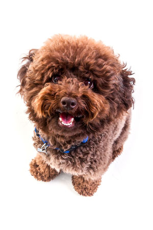 funny toy poodle brown in white studio . Poodle Animal Themes Brown Cute Dog Domestic Animals Mammal No People One Animal Pets Poodle Poodletoy Portrait Studio Shot White Background