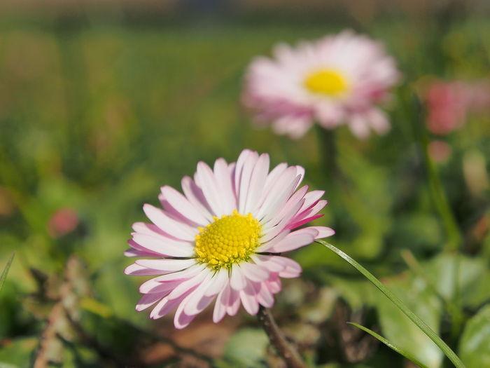 Daisy EyeEm Selects Flower Head Flower Closing Pink Color Petal Uncultivated Stamen Springtime Wildflower Gerbera Daisy In Bloom