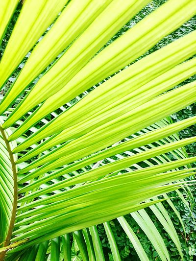 Palm Tree Maresias Brazil Green Nature Folia Hojas Leafs Nature Green Color Growth Backgrounds Leaf Frond No People Outdoors Tree Full Frame Beauty In Nature Day Photosynthesis Close-up Freshness (null)Beauty In Nature
