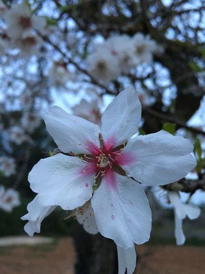 Flor de Almendro...